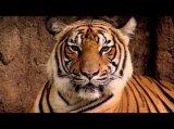 WWF - Der Tiger - die größte Raubkatze der Erde