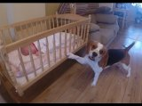 Dog Puts His Baby Sister To Sleep in a Swing Crib