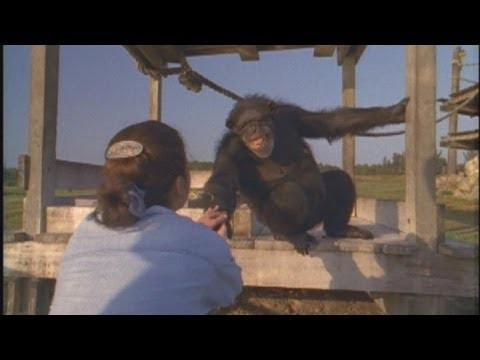 Emotional Reunion with Chimpanzees