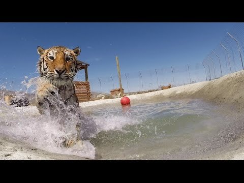 Rescued tigers swim for the first time
