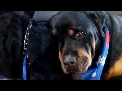 Crying Rottweiler Grieves For Dead Brother. Animals Do Have Emotions